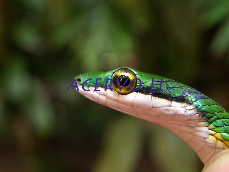 Cobra cipó <br /> Foto João Batista