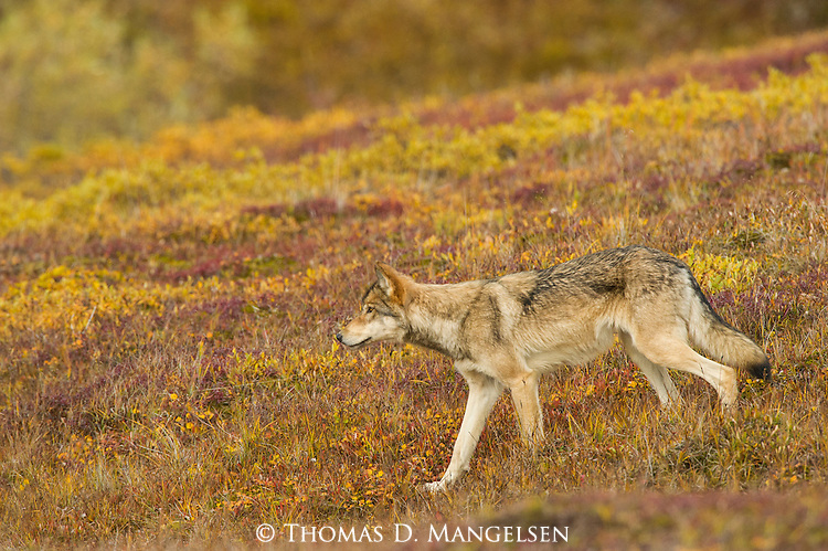 A gray wolf walks across the autumn tundra in Denali National Park, Alaska.
