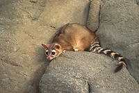 675906004 a captive ringtail bassariscus atutus sits on a rocky ledge in central montana - species is native to the western united states and mexico