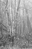 Trees in Fog, Shenandoah NP, VA 35mm image on Ilford Delta film