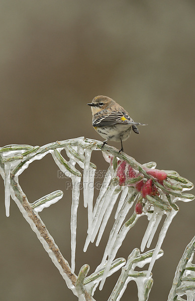 Yellow-rumped Warbler (Dendroica coronata),  adult perched on icy branch of Christmas cholla (Cylindropuntia leptocaulis), Hill Country, Texas, USA