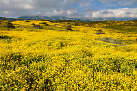 Lasthenia californica,  Common Goldfields, blooming in the foothills of the Carrizo Plain at the Carrizo Plain National Monument in California.