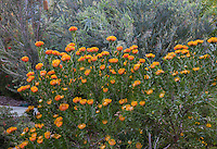 Leucospermum praecox 'Patricia' in California summer-dry garden with Australian plants (Acacia cultriformis ; design Jo O'Connell