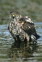 542308011 a wild juvenile sharp-shinned hawk accipiter striatus bathes in a small pond in the rio grande valley of south texas