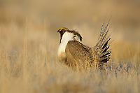 Adult male Gunnison Sage-grouse strutting on a lek. Gunnison County, Colorado. April.