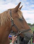 Head of Suffolk Punch horse, Suffolk Smallholders annual show, Stonham Barns, Suffolk, England, July 2008