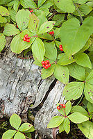 Bunchberry and other foliage covers a decaying Birch branch creating patterns with the bark, Isle Royale National Park, Keweenaw County, Michigan