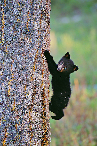 Young Black bear cub climbing on doug fir tree,   Western U.S.,  May.