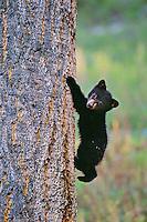 Young Black bear cub climbing on doug fir tree,   Western U.S.,  May.