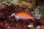 Redfin anthias (Pseudanthias dispar)