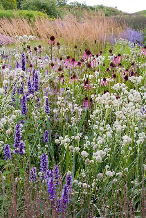 Agastache black adder eryngium yuccifolium plant for Prairie style garden design