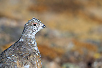 White-tailed Ptarmigan (Lagopus leucura altipetens), male in molt to winter plumage in Rocky Mountain National Park, Colorado.