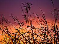 Tall grass silhouetted against a brilliant Hawaiian sunset, Kailua-Kona, Big Island.