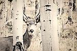 Black and white image of deer looking through aspen trees