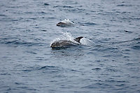 White beaked Dolphin Lagenorhynchus albirostris breaking surface at speed