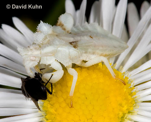 0910-0801  Ambush Bug Nymph Consuming Prey - Phymata spp. Virginia - © David Kuhn/Dwight Kuhn Photography.