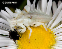 0910-0801  Ambush Bug Nymph Consuming Prey - Phymata spp. Virginia - © David Kuhn/Dwight Kuhn Photography.