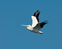 American White Pelican in flight, Choke Canyon State Park, TX