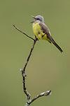 Tropical Kingbird (Tyrannus melancholicus), Southeast Brazil.