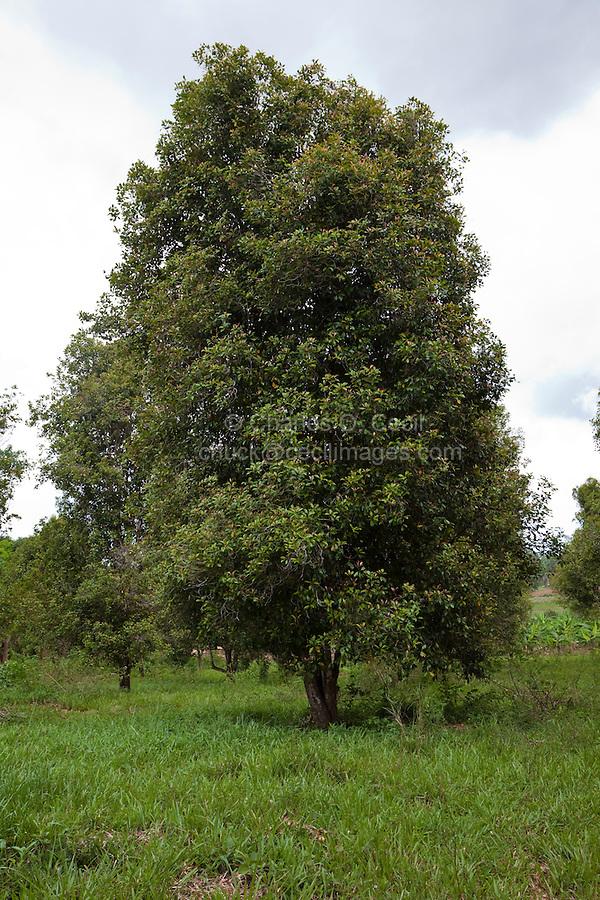 Zanzibar, Tanzania.  Clove Tree.