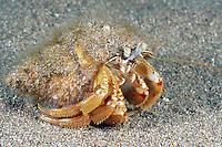 Common Hermit Crab - Pagurus bernhardus