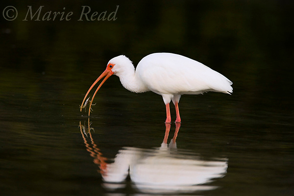 White Ibis (Eudocimus albus) catching a crab, with reflection, Florida.