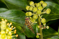 Glass-winged Hoverfly - Syrphus vitripennis
