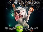 REALISTIC ANIMALS, REALISTISCHE TIERE, ANIMALES REALISTICOS, dogs, paintings+++++SethC_Grace_320B5912rev3,USLGSC35,#A#, EVERYDAY ,underwater dogs,photos,fotos ,Seth