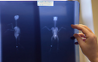 "One of Dr. Ram Mohan's assistants holds up the x-ray of ""Ziz,"" an injured canary that was brought to the clinic on Nov. 3, 2012. Ziz's owners thought their bird might have had a broken leg, but the x-ray confirmed that no bones had been broken."