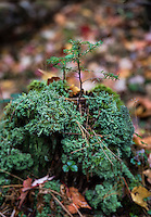 Fraagile conifer seedling growing from the decayed trunk of a tree, New York, USA