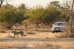 Cheetah (Acinonyx jubatus) biologist, Kim Young-Overton, watching twenty-one month old sub-adult female, Kafue National Park, Zambia