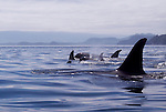 Orca whales, new baby orca,  Inside Passage, Johnstone Strait, Vancouver Island, British Columbia, Canada, North America, Northern resident pod, Orcinus orca.