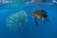 Atlantic sailfish, Istiophorus albicans or platypterus, use sail-like dorsal fins to round up Spanish sardines, Sardinella aurita. Yucatan Peninsula, Mexico, Caribbean Sea