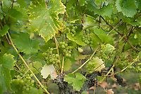 Phoenix grapes in a vineyard,  Herefordshire.
