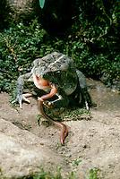 American toad, Bufo Americanus, eating worm, Missouri USA