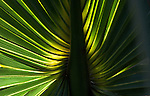Backlit Palm Frond captures a familiar look but at the same time is surreal and captivating