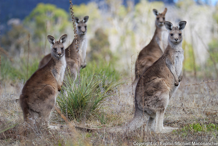 Eastern Grey Kangaroos, Macropus giganteus, females, Namadgi Nat Park, ACT, Australia