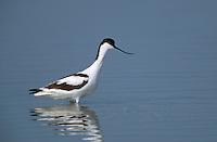 Säbelschnäbler, Recurvirostra avosetta, avocet
