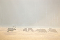 Roosevelt Elk (Cervus elephus) herd in meadow.  Fall.  Pacific Northwest.