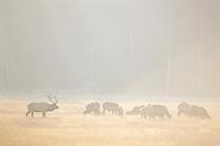 Roosevelt Elk (Cervus elephus) herd in meadow.  Fall.  Pacific Northwest.