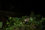 Small Indian Civet (Viverricula indica) near house at night, Colombo, Sri Lanka