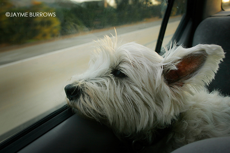 A West Highland Terrier looks out a car window.