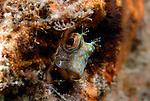 Seaweed Blenny, Parablennius marmoreus, juvenile seaweed blenny with cute face, Underwater Marine life Behavior; Blue Heron Bridge; Lake Worth Inlet; Riviera; Florida; USA; Intra Coastal Waterway; North Atlantic Ocean.8-16-12-165Nt