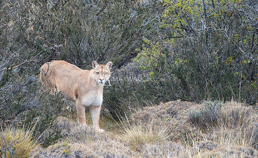 One of the puma families we saw included a mother with two seven-month-old cubs.  This is the mom, the same female who lost all three of her cubs during my trip in 2016.