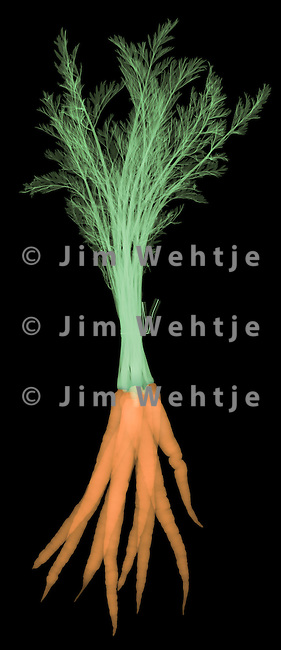X-ray image of a carrot bunch (green tie, color on black) by Jim Wehtje, specialist in x-ray art and design images.