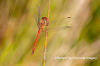 06666-00507 Autumn Meadowhawk (Sympetrum vicinum) male in wetland Marion Co. IL