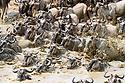Herds of white-bearded wildebeest (Connochaetes taurinus albojubatus) crossing the Mara River. Northern Serengeti, Serengeti National Park, Tanzania (early September).