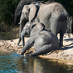 Elephants on a beach, Sabi Sands Game Reserve, South Africa