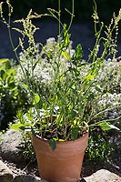 Sauerampfer im Topf, Blumentopf, Wiesen-Sauerampfer, Sauer-Ampfer, Großer Sauerampfer, Ampfer, Rumex acetosa, Common sorrel, garden sorrel, spinach dock, narrow-leaved dock, flower pot, garden pottery, plant pot, l'Oseille commune, Grande oseille, Oseille des prés, vinette