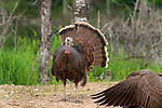 Confrontation between a hen turkey and Canada goose.